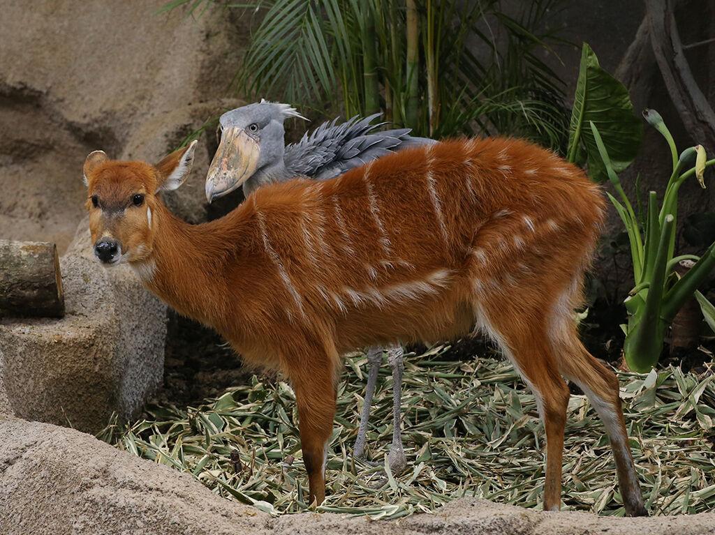 の シタツンガ 科 動物 何 は